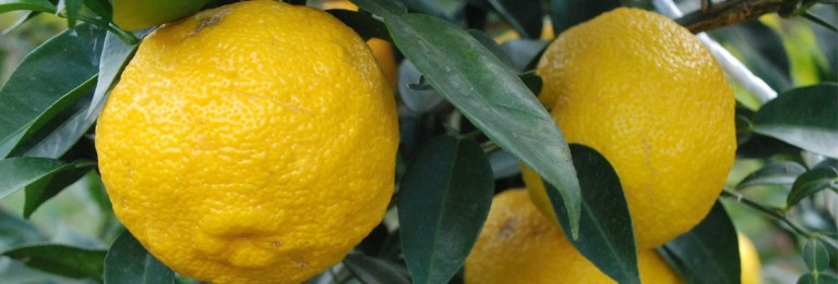 Japanese yuzu fruit could have miraculous powers